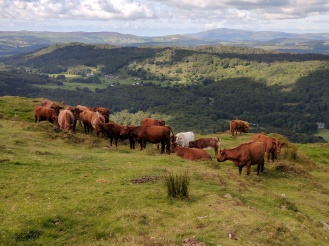 Cows at the top of Gummer's How