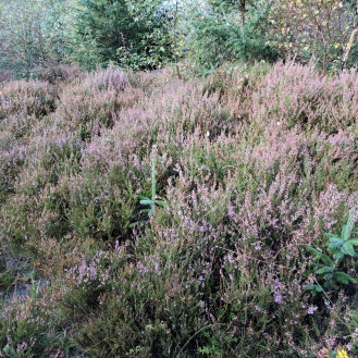Last bits of flowering heather (early September)